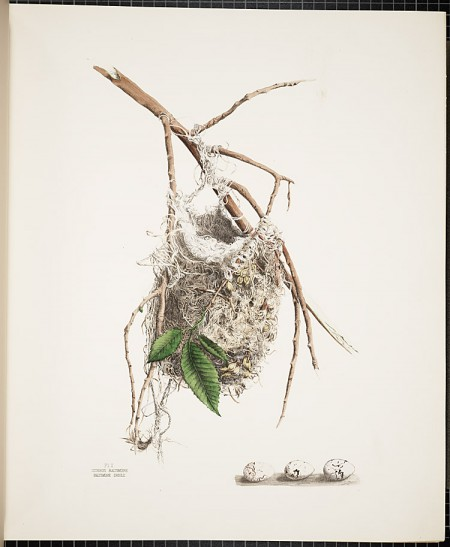Smithsonian Library, America's Other Audubon