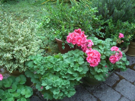 Geranium pots at the entry