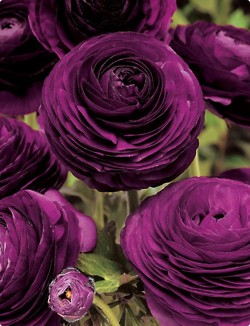4-ranuculas fresh as a daisy