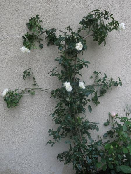White Lady Banks Rose