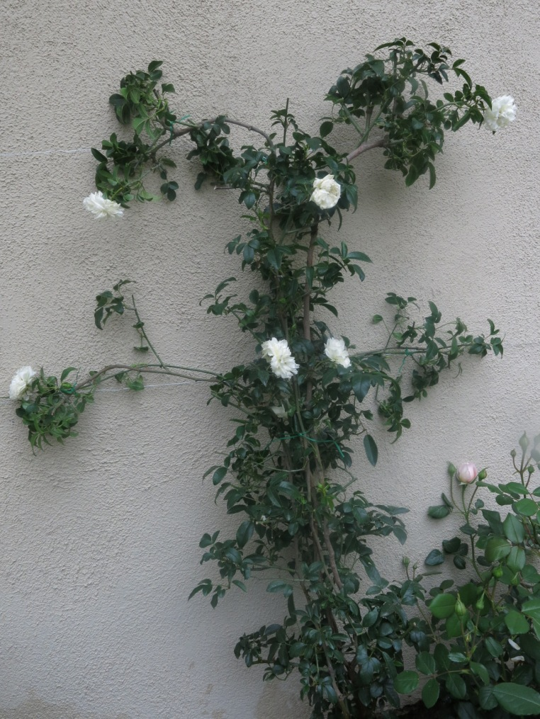 White Lady Banks Rose