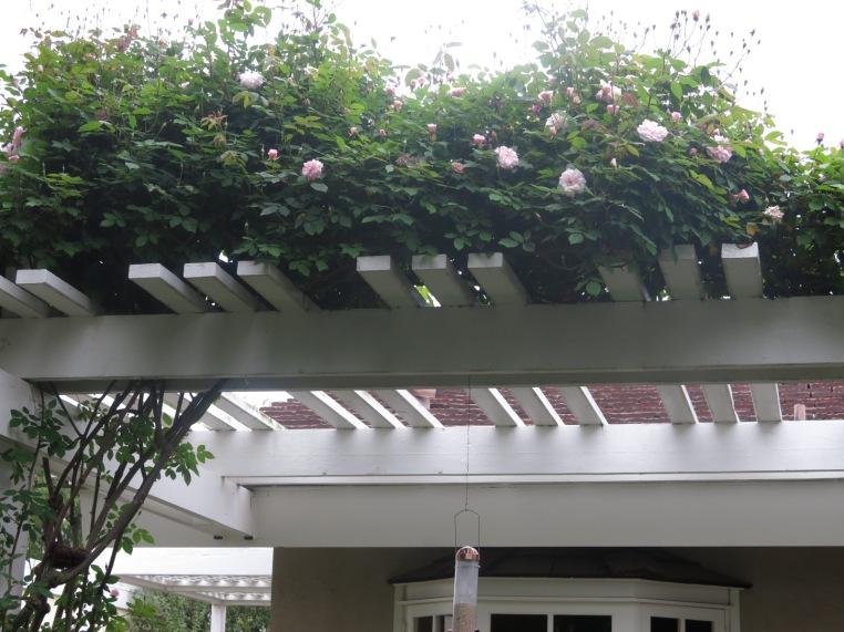 cecille brunner climbing rose