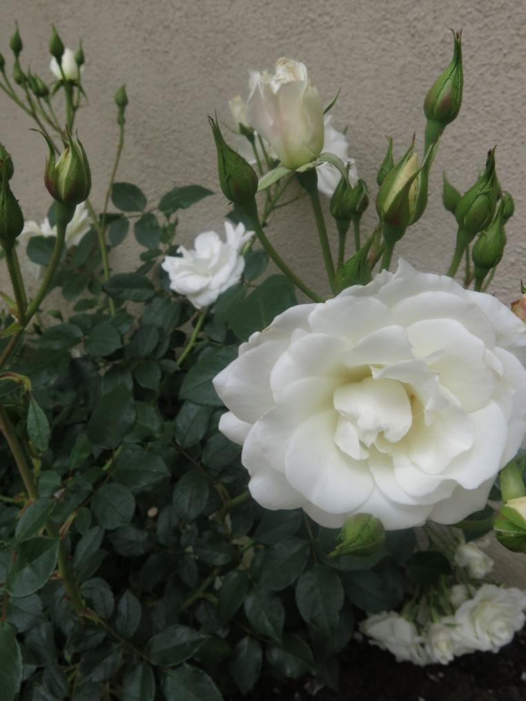 Iceberg rose blossom