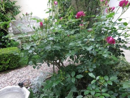 Burgundy Simplicity rose