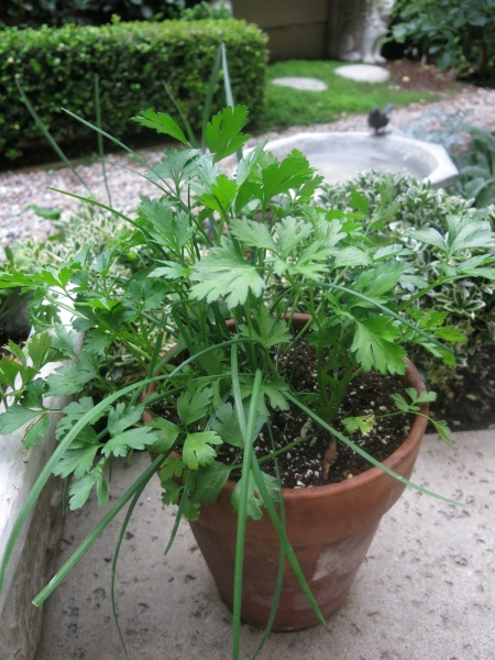 Parsley, chives in container