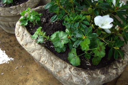 ivy geranium, white azalea