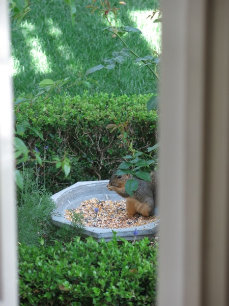 backyard birding, squirrel